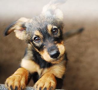 Süßer Schäferhund mit gespitzen Ohren