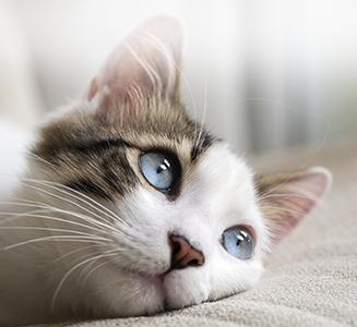 Katze mit blauen Augen auf Kissen