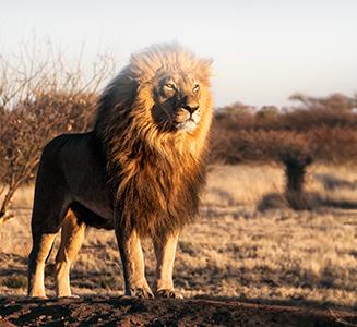Stolzer Löwe steht in der Savanne